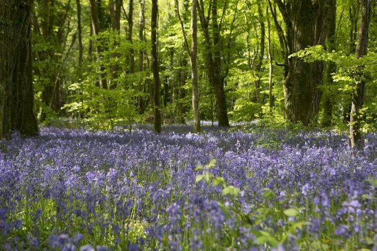 Bluebell Forest on the Castle Blunden Estate in County Kilkenny